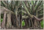 Ancient Banyan Tree- 2 Views