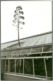 Century Plant Breaks Out of Greenhouse