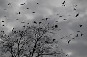 Crows Aloft