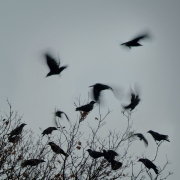 Crows Dance