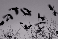 Crows Gather