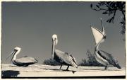 Pelicans Converse