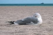 Resting Seagull