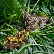 Mallard with Her Newborns