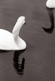 Swans Reflect