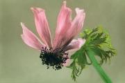 Spent Anemone